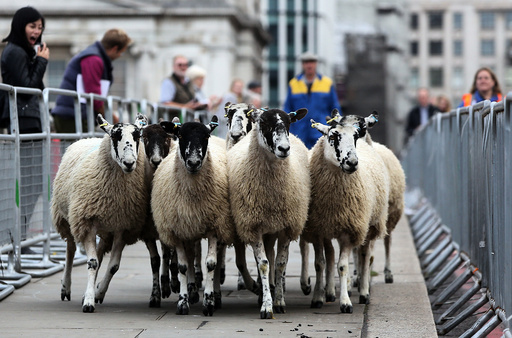 Sheep are driven over London Bridge in London