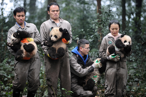 Researchers hold giant panda cubs during an event to celebrate China's Lunar New Year in a research base in Ya'an