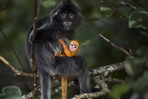 Silvered / silver-leaf langur (Trachypithecus cristatus) female sitting in a tree with her orange coloured young baby aged less than 1 month. Bako National Park, Sarawak, Borneo, Malaysia.
