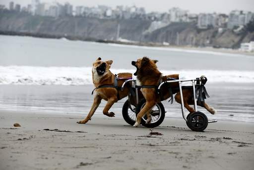 Paraplegic dogs in wheelchairs play at Pescadores beach in Chorrillos
