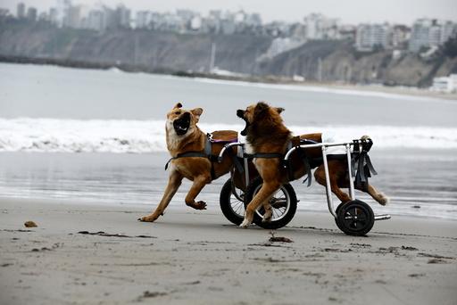 Paraplegic dogs in wheelchairs play at Pescadores beach in Chorrillos