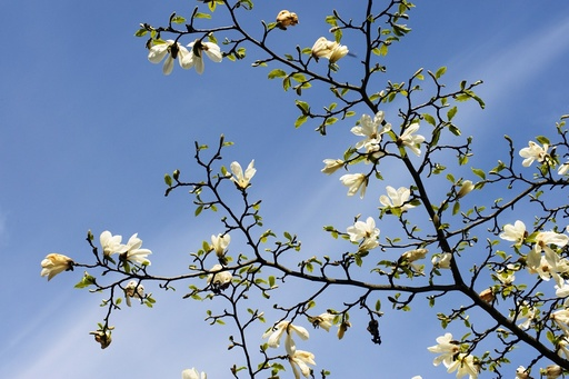 Snømagnolia (Magnolia kobus borealis) i full blomst. Botanisk hage. Oslo