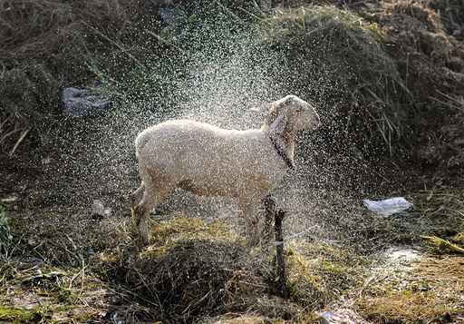 Sheep shakes itself dry after it was given a wash by its trader at a livestock market ahead of the Eid al-Adha festival in Bengaluru