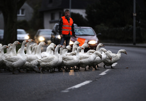 A farmer stops the traffic so his gaggle of geese can cross the road to get to their night time enclosure in Duisburg