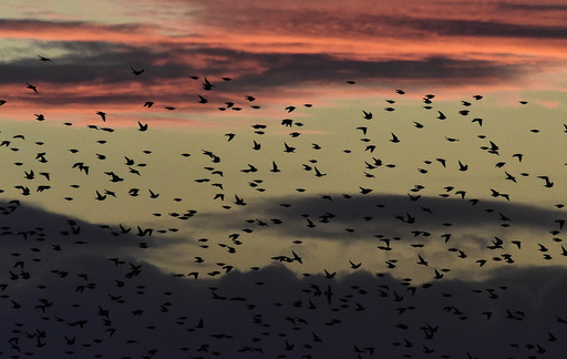 Large flocks of starlings fly at dusk over the Somerset Levels near Glastonbury