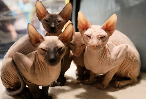 Peterbald kittens sit inside their cage during a regional cat exhibition in Almaty