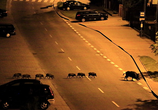 A female boar and her piglets cross a street during the night in Gdynia