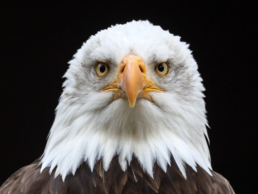 Bald eagle at the animal park Tripsdrill in Cleebronn