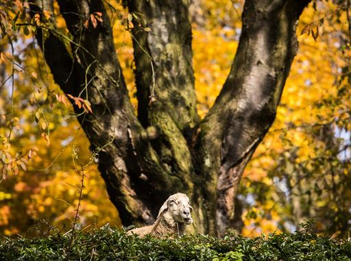 Sheep in Hesse