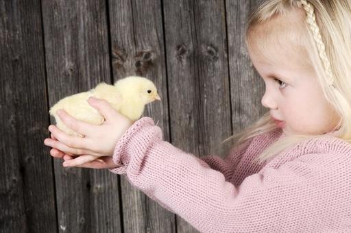 Lita jente med gul kylling. Unge syntes det er spennende med nyklekket liten fugl. Mange er redd for fugleinfluensa. God kontakt og konsentrasjon. Påske.