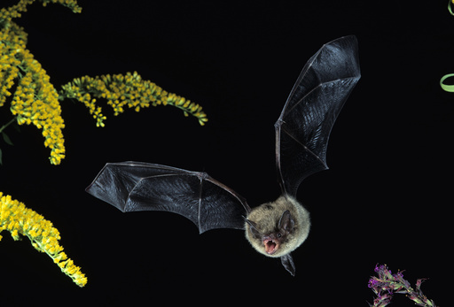 Little Brown Bat in flight