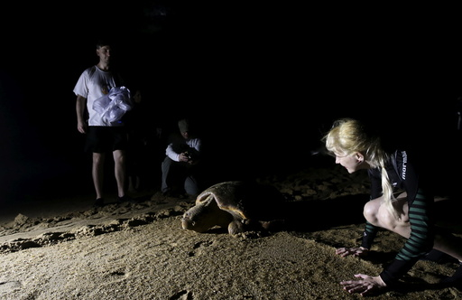 People observe a loggerhead sea turtle crawling to the sea after laying her eggs on the beach in Regencia village