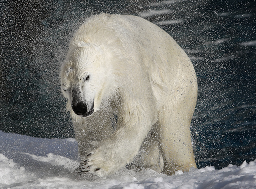 A polar bear shakes his body to remove water at St-Felicien Wildlife Zoo in St-Felicien