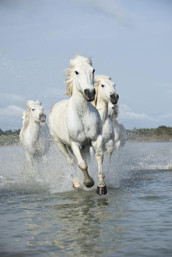 Grey Camargue horses, galloping through water in the Camargue, France, April.