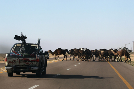 Camels cross a road as rebel fighters drive back on their vehicles from the frontline between Ajdabiyah and Benghazi