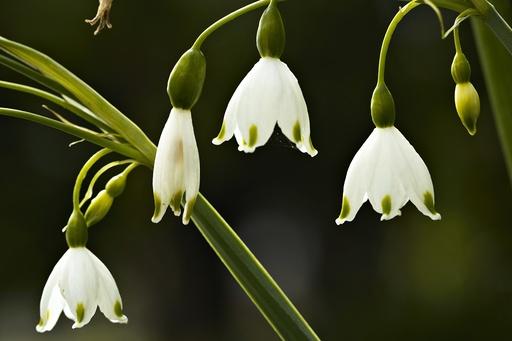 Klosterklokke (Leucojum vernalis), detalj av blomst, Botanisk hage, Oslo.