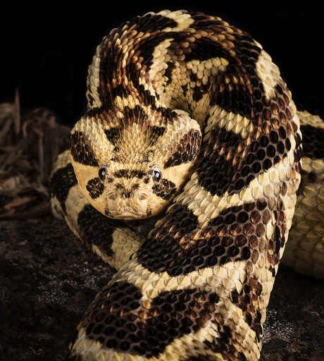 Puff Adder (Bitis arietans) captive occurs in Tanzania.
