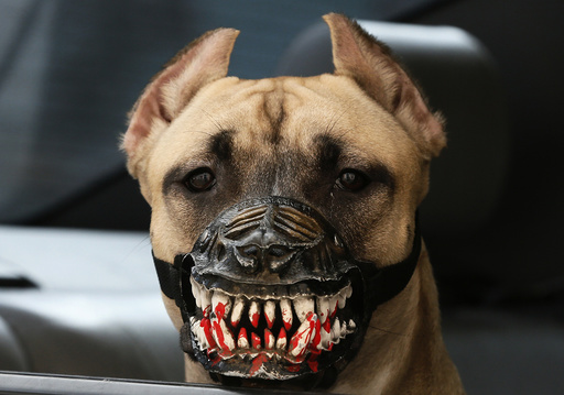 A dog wearing a muzzle looks out of a car in Krasnoyarsk