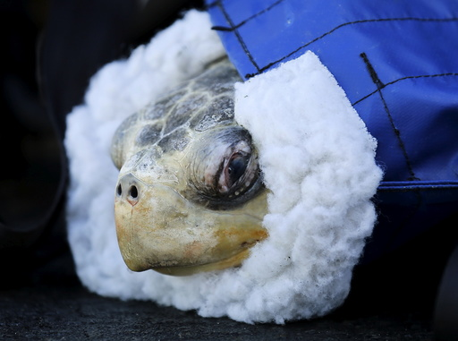 Rescued endangered olive ridley turtle arrives at Sea World's animal rescue center in San Deigo
