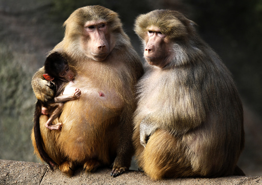 Baboons enjoy the sun in their enclosure at Hagenbeck Zoo in Hamburg