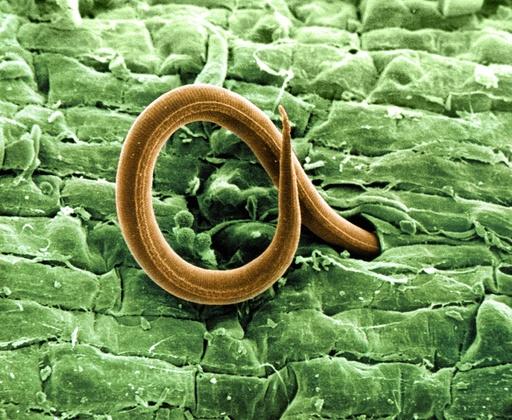 Root-knot nematode larva, SEM