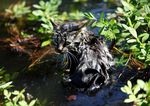 A cat sits in the flooding waters from Hurricane Matthew in downtown Nichols