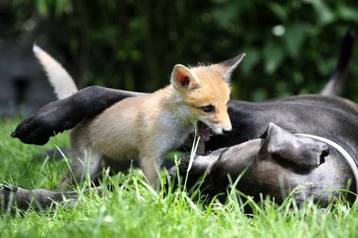 Fox cub grows up with dogs