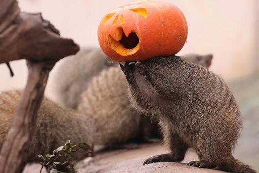 A banded mongoose plays with a Halloween pumpkin at a zoo in Chongqing