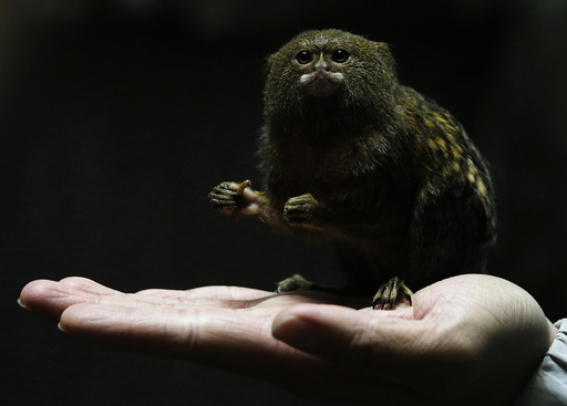 Hong Kong Ocean Park worker poses with a pygmy marmoset, the world's smallest monkey, in Hong Kong