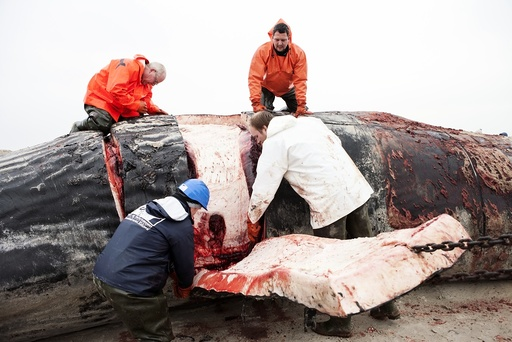 Sperm whale dissection