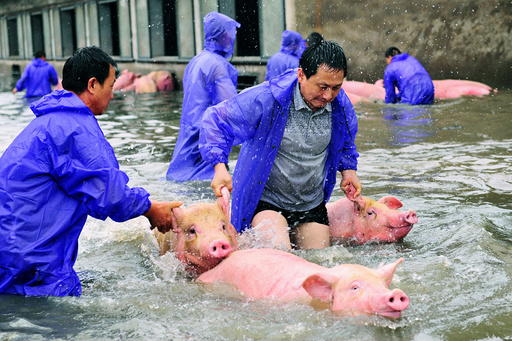 Employees save pigs from a flooded farm in Lu'an