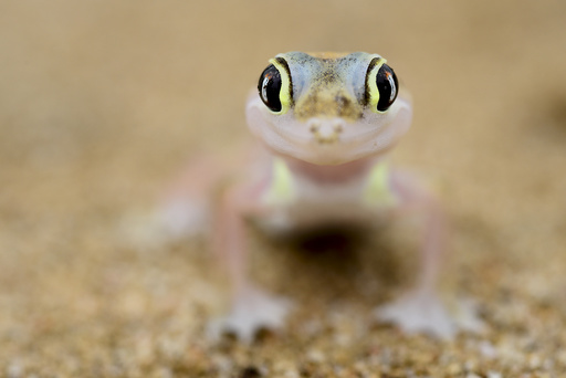 Web-footed gecko (Pachydactylus rangei) portrait, endemic species. Dorob National Park, Namibia.