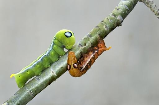 Oleander hawk-moth caterpillars