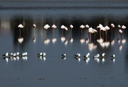 Flamingos at a salt lake of Larnaca Cyprus