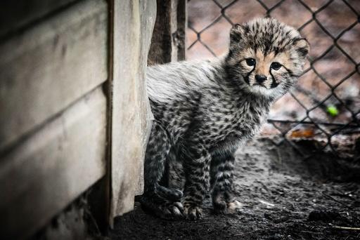 Cheetah cubs in Beekse Bergen Safari Park