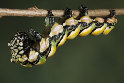 Chinese owl moth caterpillar