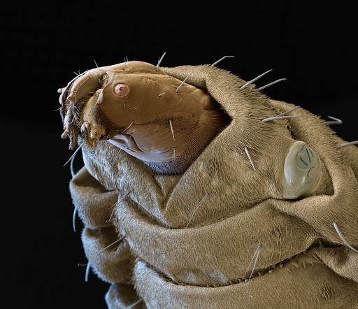 Soldier fly larva, SEM