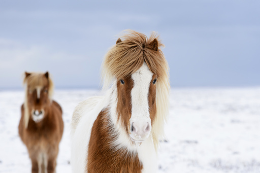 Skewbald and chestnut Icelandic horses in the snow, Snaefellsnes Peninsula, Iceland, March.