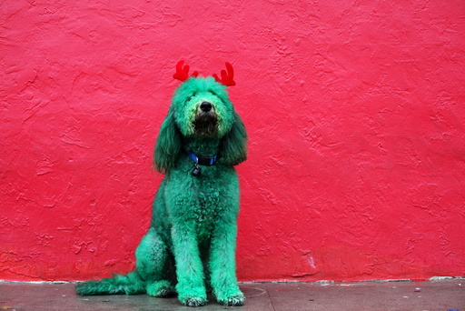 A dog, with his fur dyed green and wearing antlers made out of red fabric, poses for a photograph before participating in the Thanksgiving Day Parade in El Paso, Texas
