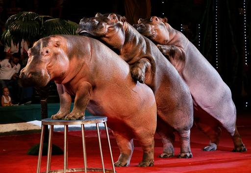 Hippopotamuses perform during a show at the circus in Krasnoyarsk