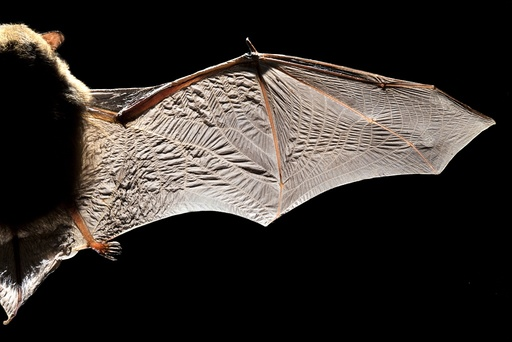 Common pipistrelle bat wing