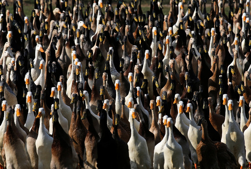The Wider Image: Quack squad on the hunt