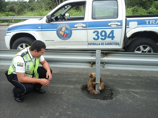 A transit police officer kneels next to a sloth holding on to the post of a traffic barrier on a highway in this handout photo provided by Ecuador's Transit Commission in Quevedo