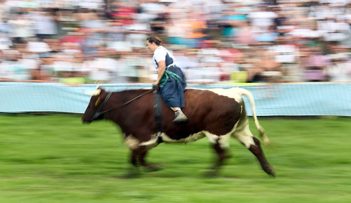 Farmer rides on an ox during a traditional ox race in Haunshofen