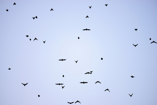 Migrating starlings fly at dusk over the Kent countryside in Graveney, Britain