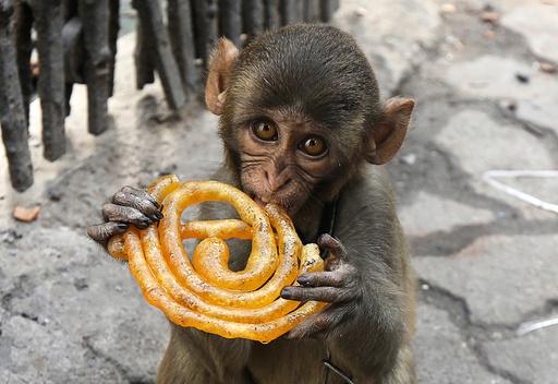 Musafir a pet monkey eats a Jalebi sweet on a pavement in Kolkata