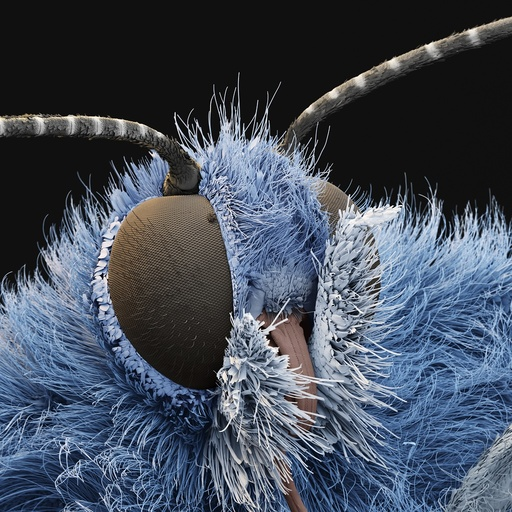 Common blue butterfly, SEM