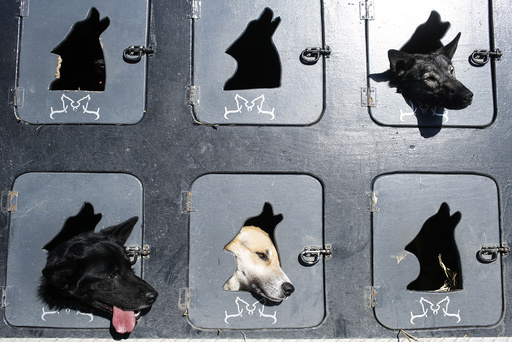 Musher Justin Savidis' dogs wait in the truck before the restart of the Iditarod Trail Sled Dog Race in Willow