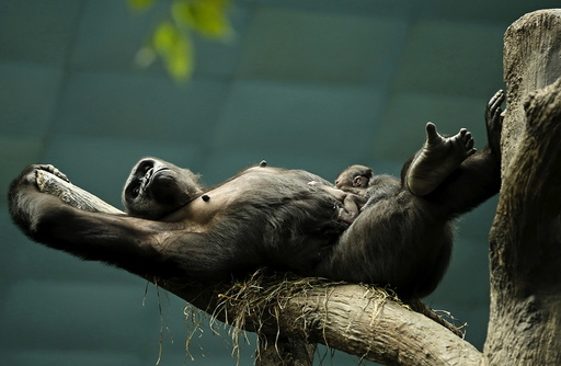 Western lowland gorilla Kamba lays on a branch with her one-day-old son Zachary at the Brookfield Zoo in Brookfield