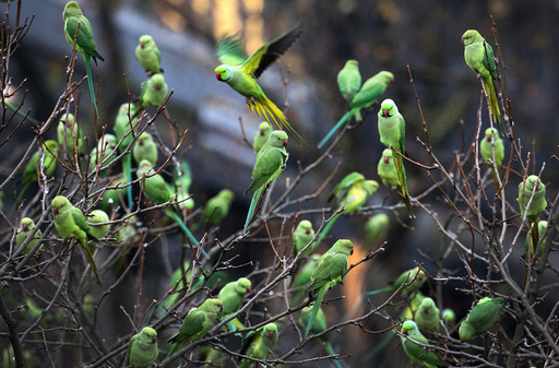 Rose-ringed Parakeets in Duesseldorf